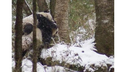 """首次""""零星熊猫""""民间调查研究报告发布:呼吁推动""""零星熊猫""""保护工程"""