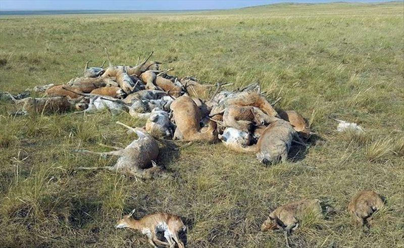蒙古国连日大旱,社会力量爱心搭建储水池 供黄羊等野生动物饮水
